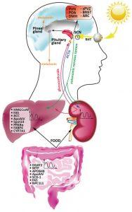 ritmi circadiani e processi biologici