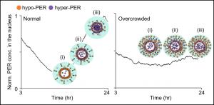 in presenza di patologie le proteine PER entrano nel nucleo in tempi irregolari