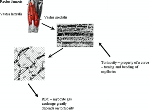 architettura dei vasi sanguinei muscolari