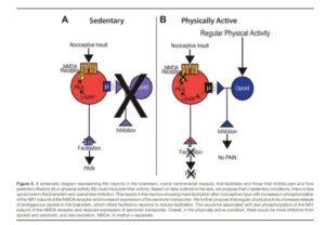 effetti dell'esercizio fisico sul Sistema Nervoso Centrale