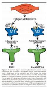 interazione tra muscolo, macrofagi e nocicettori nel sistema nervoso periferico